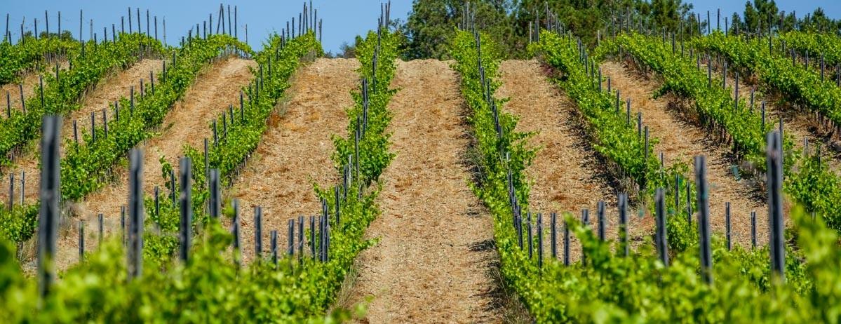 Vineyards fields in Benissa